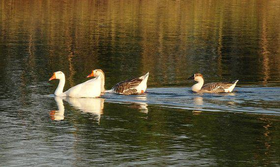 Goose, Duck, Domestic, Water Fowl, Bird, Poultry, Lake