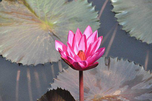 Thai Land, Water Lilly, Floating