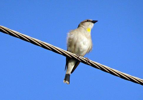Bird, Sparrow, Yellow-throated Sparrow