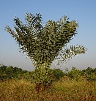Date Palm, Tree, Young, Phoenix Dactylifera, Plantation