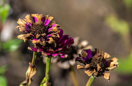 Frost Damage, Dying Flowers, Zinnias, Dried Flowers