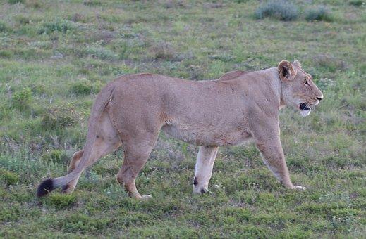 Animals, South Africa, Wild Animals, Lioness, Wildcat