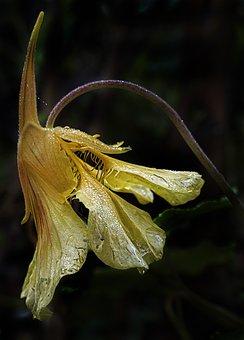Columbine, Blossom, Bloom, Dewdrop, Autumn Morning
