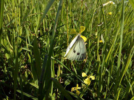 Cabbage Butterfly, Butterfly, White, Summer, Nature