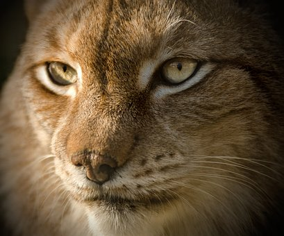 Lynx, Eurasian, Close, Eyes, Endangered