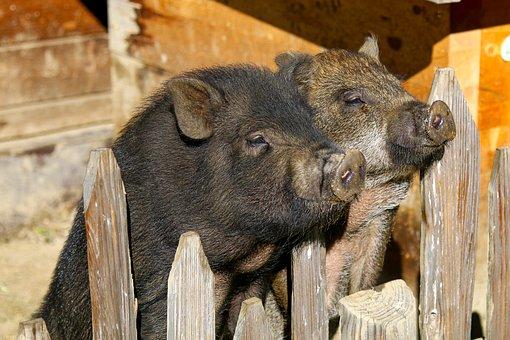Potbelly Pigs, Pig, Domestic Pig, Livestock, Mammal