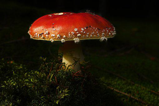 Mushroom, Fly Agaric, Forest, Moss, Amanita Muscaria