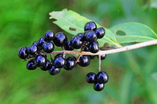 Privet, Berries, Black Berries, Ligustrum Vulgare