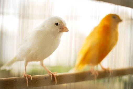 Bird, Canary, Canary Yellow, Nature, Birdie, Animals