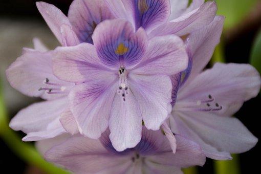 Orchid, Purple Flowers, Lotus, Purple, Flower, Cho