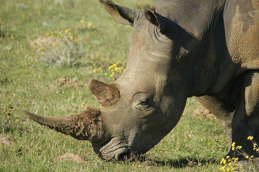 Animals, South Africa, Rhino, Wild Animals