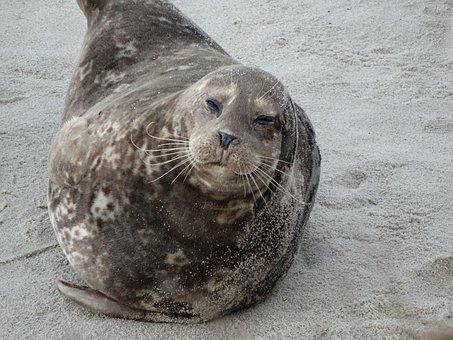 Sea Lion, Beach, Nature, Marine, Ocean, California