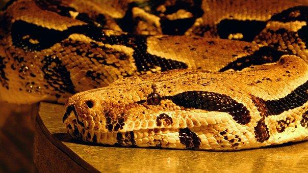 Hose, Python, Reptile, Stains, Pattern, Eye, Animal