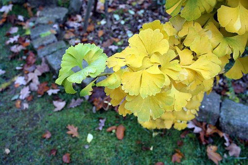 Ginkgo Japanese, Tree, Foliage, Autumn, Nature