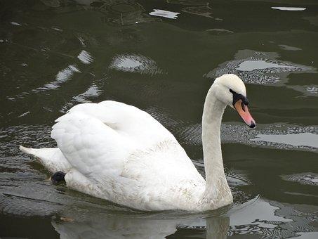 Swan, Lake, Nature, Animal, White, Animal Portrait