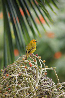 Bird, Yellow, Palm, Nature, Colombia, Berries