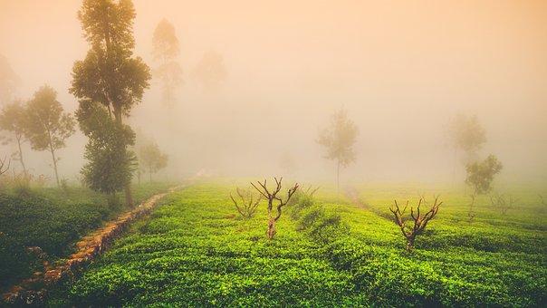 Tea, Mist, Landscape, Green, Travel, Asia, Tree, Light