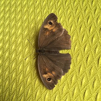 Moth, Insects, Brown, Lepidoptera, Butterfly, Wings