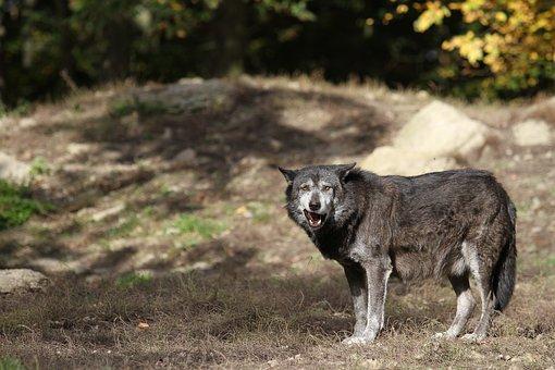 Wolf, Timberwolf, Predator, Nature, Pack, Canada
