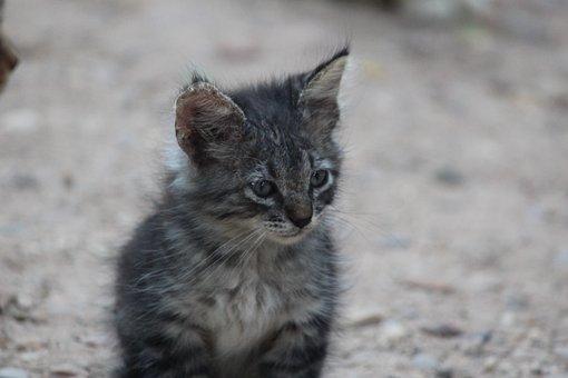Kitten, Cat, White, Animal, Animals, Cat Eyes, Cute