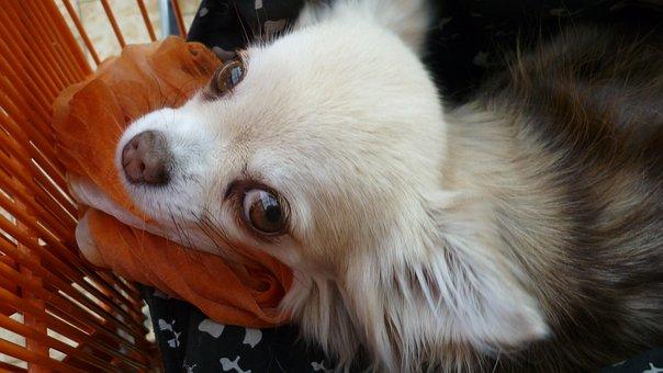Small Dog, Cute, White, Peeps, Curious