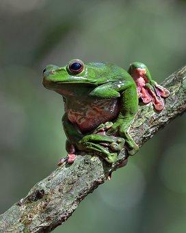 Wildlife, Green Frog, Ninh Binh Vietnam