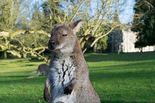 Kangaroo, Animal, Park, Nature, Image, Picture