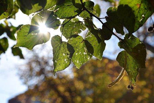 Leaf, Autumn, Leaves, Tree, Sun, Sunlight, Light On