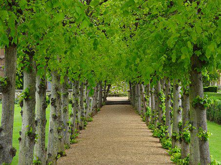 Avenue Of Trees, Lime Trees, Path Between Trees