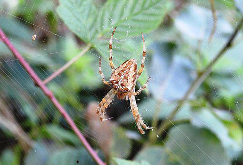 Spider, Araneus, Nature, Animal, Macro, Arachnid