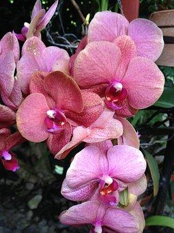 Orchid, Flower, National, Venezuela, Merida, Rosa, Pink
