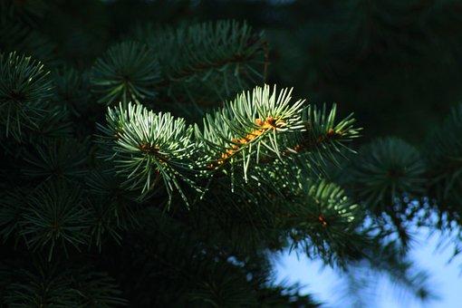 Nature, Fir, Green, Branch, Tree, Tannenzweig, Conifer