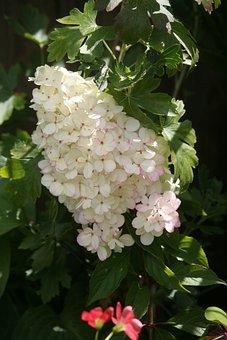 Hydrangea Panticulata, Plan, White, Summer