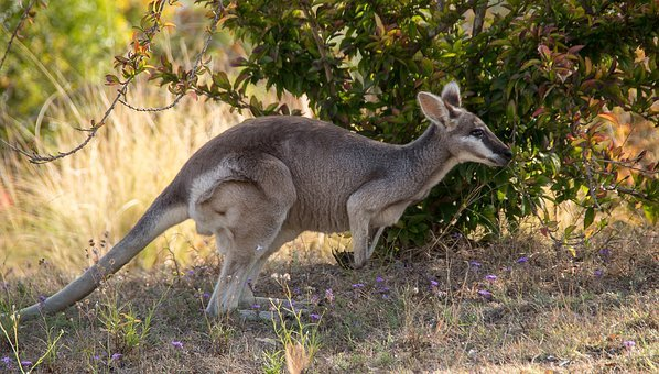 Whiptail Wallaby, Pretty-face Wallaby, Macropus Parryi