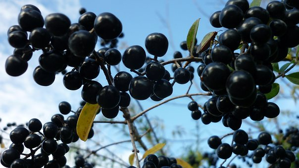 Privet-berries, Hedge Plant, Small, Black, Fruits
