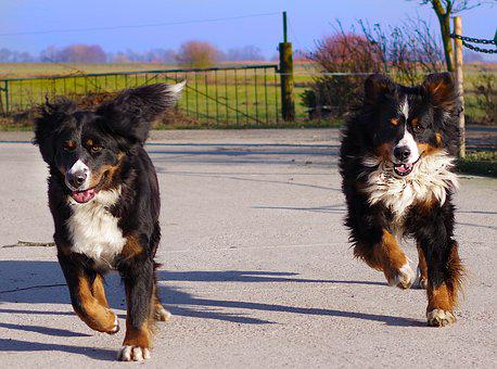 Bernese Mountain Dog, Race, Run, Two, Two Dogs, Dogs