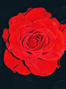 Rose, Flower, Red, Petal Of A Rose, Rose Flower