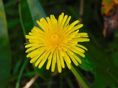Sow-thistle, Yellow Flower, Spring Flower