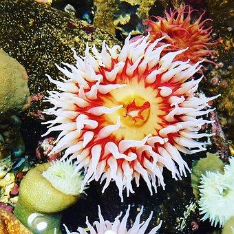 Anemone, Water, Sea Anemone, Meeresbewohner