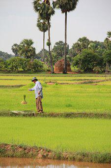 Cambodia, Siem Reap, Rice, Agriculture, Local, Asia