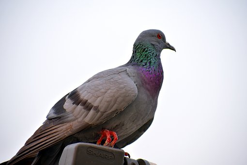 Feral Pigeon, Green Neck, Bird, Rock Pigeon