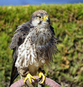 Bird Of Prey, Ave, Feathers, Animal, Birds Of Prey