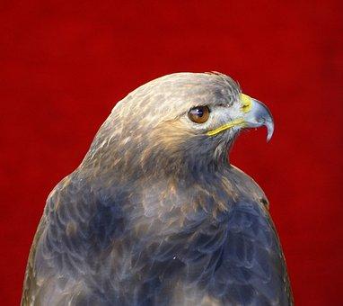 Eagle, Bird Of Prey, Birds, Head, Feathers, Peak