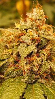 Sweet Cheese, Cannabis, Grow