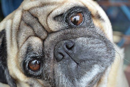 Mops, Pug, Dog, Dog Please, Eyes