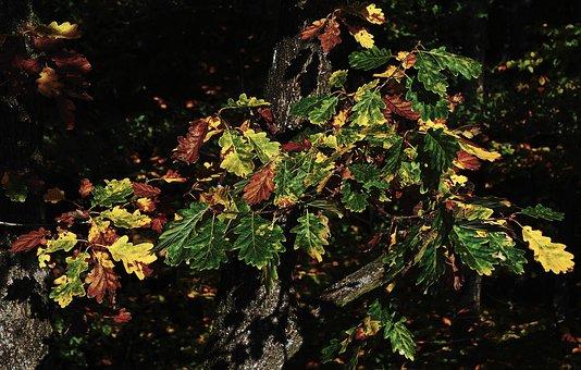 Autumn Forest, Oak Leaves, Indian Summer, Emerge