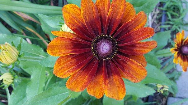 Echibeckia, Garden, Flower