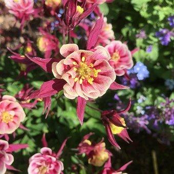 Columbine, Ruffled, Garden, Plant, Nature, Flower