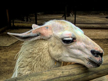 Lama, Head, Animal, Mammal, Nature, Wildlife, Alpaca