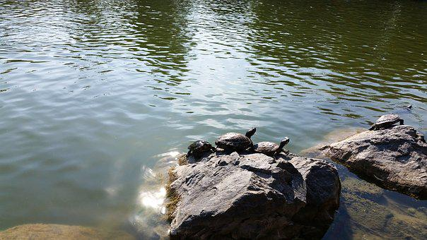Red-eared Lake Turtles, Red, Lake, Nature, Turtle